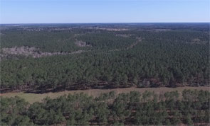 Heavily Wooded Mature Pine Timber Plantation